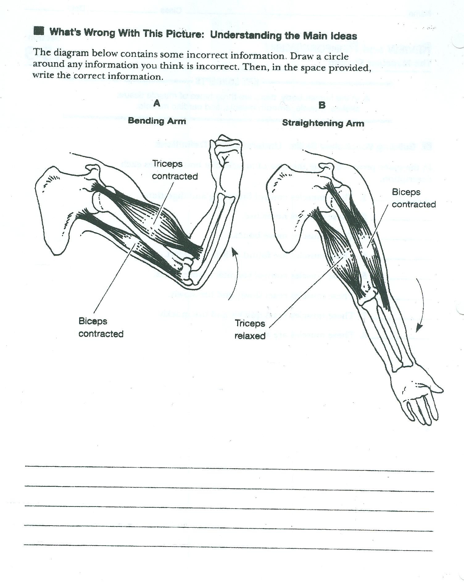 Muscular System Worksheets – Muscular System Worksheet